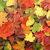 stock photo of fall leaves  - Colorful background of fallen autumn leaves - JPG