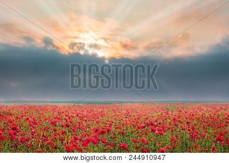 Poppy Flowers During Sunrise Dark