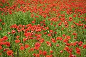 Opium Poppy. Remembrance Day, Anzac Day, Serenity. Summer And Spring, Landscape, Poppy Seed. Drug An poster