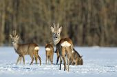 stock photo of roebuck  - Roebuck showing its buttock in a wintertime - JPG
