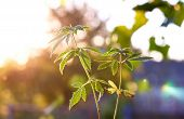 Plant Of Marijuana In Sunlight Against Sky On Sunset Sun. Thickets Plant Of Cannabis On Background B poster