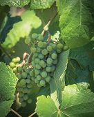 Vintage Tone Young Green Grape On Vine At Local Winery In Grapevine, Texas, Usa poster
