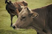 Cows And Farming. Beef Meat And Vegetarian Domestic Animal Beef Meat And Vegetarian. poster