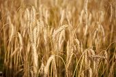 Good Harvest. Wheat Spikelets, Cereal Grain, Seeds, Agriculture. Field Of Golden Wheat, Ripe, Harves poster