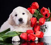 puppy retriever and flowers tulips poster