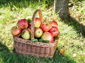 Apple harvest. Ripe red apples in the basket on the green grass. poster