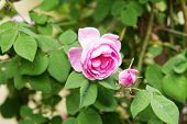 Tea Rose Bush. Rose Oil Production. Industrial Cultivation poster