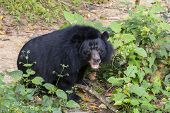 The Asian Black Bear (ursus Thibetanus, Selenarctos Thibetanus, Moon, Asiatic Black And White Cheste poster