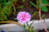 Mexican Aster Or Garden Cosmos, Cosmos Bipinnatus, Purple Flower Close-up, Selective Focus, Shallow  poster
