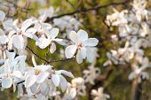 Magnolia White Blossom Tree Flowers, Closeup Branch, Outdoor. Beautiful Flowering, Blooming Tree - B poster
