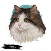 Norwegian Forest Cat Norsk Skogkatt Or Norsk Skaukatt Breed Of Domestic Cat. Digital Art Illustratio poster