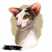 Oriental Bicolor Cat Cof Oriental Type, Short-haired Breed. Digital Art Illustration Of Hand Drawn K poster