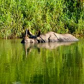 Rhino Is Bathing In River In Chitwan National Park