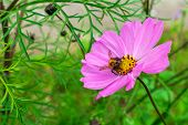 Beautiful Pink Cosmos Flower With Bumblebee On It. Cosmos Flowers In Blooming In Summer Day. Cosmos  poster