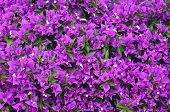 Magenta Bougainvillea Flowers As A Bright Floral Background For Design.selective Focus. poster