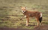 Close Up Of A Rare And Endangered Ethiopian Wolf (canis Simensis) In The Highlands Of Bale Mountains poster