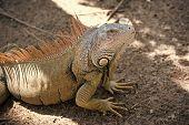 Stunning Nature Of Honduras. Tropical Reptile. Lizard Iguana In Wildlife. Big Lizard At Roatan Hondu poster