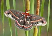 pic of cattail  - A female cecropia moth is perched on some cattails - JPG