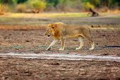 The Southern Lion (panthera Leo Melanochaita) Or Eastern-southern African Lion.big Male Hidden In Th poster