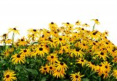 stock photo of black-eyed susans  - Black eye susan in the garden on white background - JPG