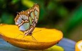 Macro Closeup Of A Malachite Butterfly With Closed Wings, Colorful And Beautiful Tropical Insect Spe poster