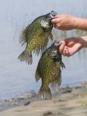 stock photo of bluegill  - A pair of spring time Crappies from a Minnesota Lake - JPG