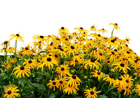pic of black-eyed susans  - Black eye susan in the garden on white background - JPG