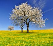 picture of cherries  - spring landscape with blooming cherry trees - JPG
