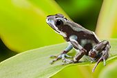 frog from tropical rain forest in Panama near Rio Uyama. Strawberry poison dart frog and small poiso