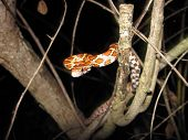 stock photo of tree snake  - a picture of a red rat snake on a tree - JPG