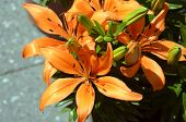 image of stargazer-lilies  - Beautiful Lily in natural light soft selective focus - JPG