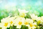 stock photo of primrose  - Fresh primrose flowers in the sunny meadow