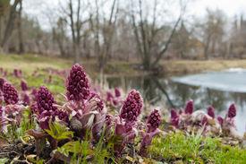 stock photo of butterbur  - Blooming butterbur - JPG