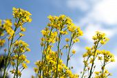 image of biodiesel  - Canola yellow Rapeseed flowers grown as cooking oil or conversion to biodiesel - JPG