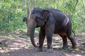 stock photo of indian elephant  - Indian Elephant also called Asian Elephant  - JPG