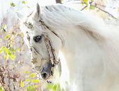 stock photo of galloping horse  - Beautiful white horse - JPG