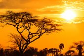 stock photo of baobab  - Orange glow of an african sunset with tree in front - JPG