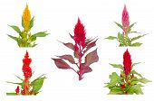 picture of celosia  - Colorful celosia flower isolated on white background - JPG