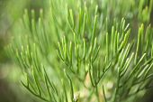 picture of spiky plants  - Horizontal image of an Australian native shrub showing its green spiky leaves - JPG