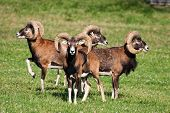 stock photo of herbivore animal  - Herd of mouflons  - JPG