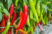 stock photo of spurs  - Red and green chili spur pepper growing in the vegetable garden - JPG