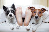 foto of sleeping  - couple of dogs under white bed sheets with sleeping owner