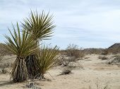 stock photo of spiky plants  - A family of yucca plants in the desert - JPG
