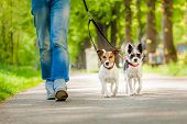 foto of angry  - owner and two dogs going for a walk
