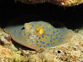 foto of stingray  - A blue spotted ribbontail stingray at the Blue Hole - JPG