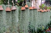 picture of tillandsia  - Tillandsia usneoides hanging in flower shop Thailand - JPG