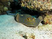 stock photo of stingray  - A blue spotted ribbontail stingray under table coral - JPG