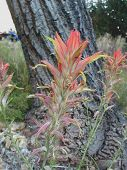 stock photo of xeriscape  - tall Indian paintbrushes in forest - JPG