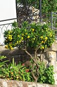 pic of tangerine-tree  - Beautiful tangerine tree with ripe fruits near the terrace of the house - JPG