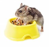 foto of dwarf  - Dwarf hamster eating from yellow bowl isolated on white background - JPG
